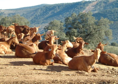 cabras-extremenas-los-ibores-rontome